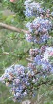 Ceanothus impressus has red buds and blue flowers