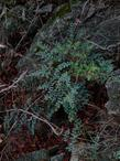This  fern,  Pellaea andromedifolia, Coffee Fern, commonly grows near rocks. - grid24_3
