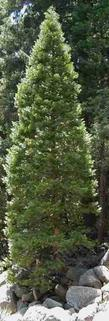 Here in the Yellow Pine Forest, Libocedrus decurrens, Incense Cedar, grows in swales and moister spots, and looks like a traditional Christmas tree. - grid24_3