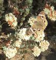 Eriogonum fasciculatum var. polifolium; Rosemary Flat-Top Buckwheat with a Buckeye Butterfly