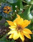Wyethia angustifolia, Narrowleaf Mule Ears yellow flower. - grid24_3
