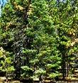 An old picture of Abies concolor, White Fir, taken on Mount Pinos, California.