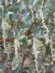 Garrya flavescens pallida Pale Ashy Silk-tassel Bush with catkins