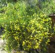 Dendromecon rigida, Bush Poppy, is very showy in flower.