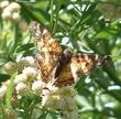 American Painted Lady Butterfly, Vanessa virginiensis on a Baccharis douglasii Marsh Baccharis and Douglas Baccharis.