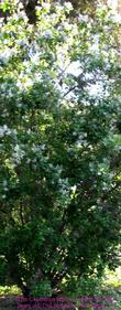 An old picture of Ceanothus arboreus. the plant is now  close to thirty years old