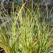 Carex spectabilis Showy Sedge
