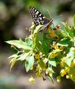 A Checkerspot Butterfly  on a Mahonia nevinii - grid24_3