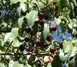Fruit of Prunus lyonii, Catalina cherry with cherries