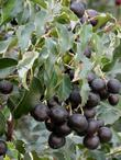 Ripe fruit on the Hollyleaf  Cherry, Prunus ilicifolia - grid24_3