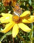 Bidens laevis Joaquin Sunflower with a Metalmark Butterfly