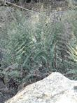 Pellaea mucronata, Bird's-Foot Fern, is growing here near granite rocks in the central coast ranges of California.