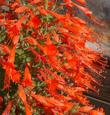 Zauschneria latifolia johnstonii in flower. This California fuchsia makes a great show in late summer - grid24_3