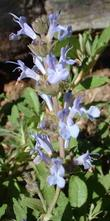 Salvia Dara's Choice sage makes a small flat groundcover for full sun, tolerates clay or sand and deer
