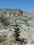 Asclepias erosa Desert Milkweed. Amazing ain't it?