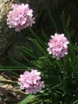 Armeria maritima, California Thrift, growing on the bluffs of the seacoast of California.  - grid24_3