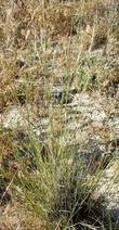 Stipa cernua, Nodding needlegrass with seeds. - grid24_3