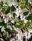 White Leaf manzanita, Arctostaphylos viscida, with flowers. notice  the nectar robbing bees have eaten a hole into each flower.