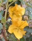 Fremontodendron Pacific Sunset  flowers