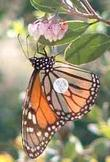 a tagged Monarch Butterfly, Danaus plexippus that was flying by and rested on a manzanita for a snack  - grid24_3