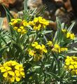 Erysimum menziesii, Menzies' Wallflower, is a rare plant.