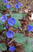 Phacelia campanularia, Desert Bluebell, is growing here in the Santa Margarita garden.