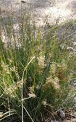 Juncus patens, Common Rush - grid24_3