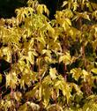 Fall color of Box Elder, Acer negundo californicum.