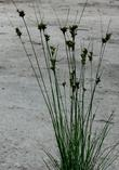 Juncus occidentalis, Western Rush - grid24_3