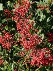 We seldom see Toyon berries this ripe here, the birds eat them when they are still green.