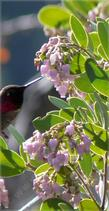 An Anna Hummingbird sipping from a Austin Griffin manzanita