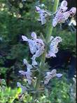 Stachys ajugoides rigida, Bugle Hedgenettle commonly has polka dot flowers