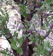 Austin Griffith's Manzanita's bark  is reddish purple.