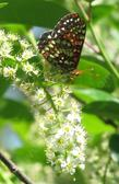 Prunus virginiana melanocarpa, Black chokecherry with a Checkerspot