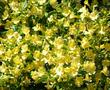 Long Flowered monkey flower in full flower. Imagine a flower like this that you do not have to water. Drought tolerant in places like Santa Barbara and Los Angeles.