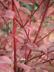 Cornus stolonifera, Red Stem Dogwood fall color with it's red stems makes the California stems turn red in fall.