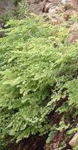Adiantum jordanii, California Maiden-Hair Fern, loves the habitat in this moist greenhouse rock wall.  - grid24_3