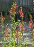 In this photo you can see several plants of Lobelia cardinalis, Cardinal Flower, situated in a group, and being visited by a hummingbird.