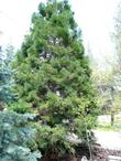 Sequoiadendron giganteum, Giant Redwood in a Big Bear garden.Turns brown every winter, green in spring, gray in fall.