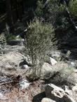 A young Cercocarpus ledifolius above Big Bear.