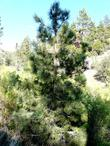 A young Coulter Pine,  6500 feet south of Big Bear City.