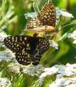 A Coronis Fritillary and Variable Checkerspot on a California Yarrow. - grid24_3