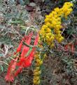 Mix Solidago with Zauschneria