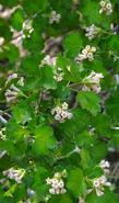Ribes cereum Wax Currant or Squaw Currant