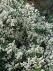 Ceanothus cordulatus, Snowbush and Mountain Whitethorn - grid24_3