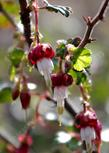 Ribes californicum Hillside Gooseberry