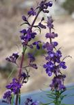 Both Trichostema lanatum and parishii next to each other. - grid24_3