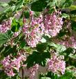 Ribes sanguineum glutinosum,  Pink-Flowered Currant.  with masses of pink flowers