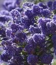 Ceanothus Concha has many colors, shades, and  tones. Some years the plants are more reddish purple, some years bright blue, some years larger flowers, some years more smaller flowers. Always beautiful.
