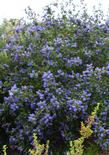 Ceanothus Mountain Haze is a California liac with deep green foliage that loves coastal California gardens.